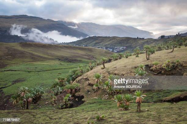 Ethiopia, Landscape compound of huge Lobelia and the village of Chenek at dawn in the mist, Simien mountains