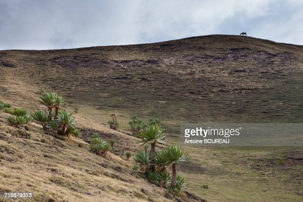 Ethiopia, Silhouette of a horse on the crest, Simien mountains