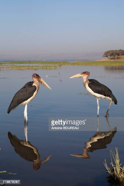 Ethiopia, Two Marabouts of Africa and their reflections in the lake Awassa