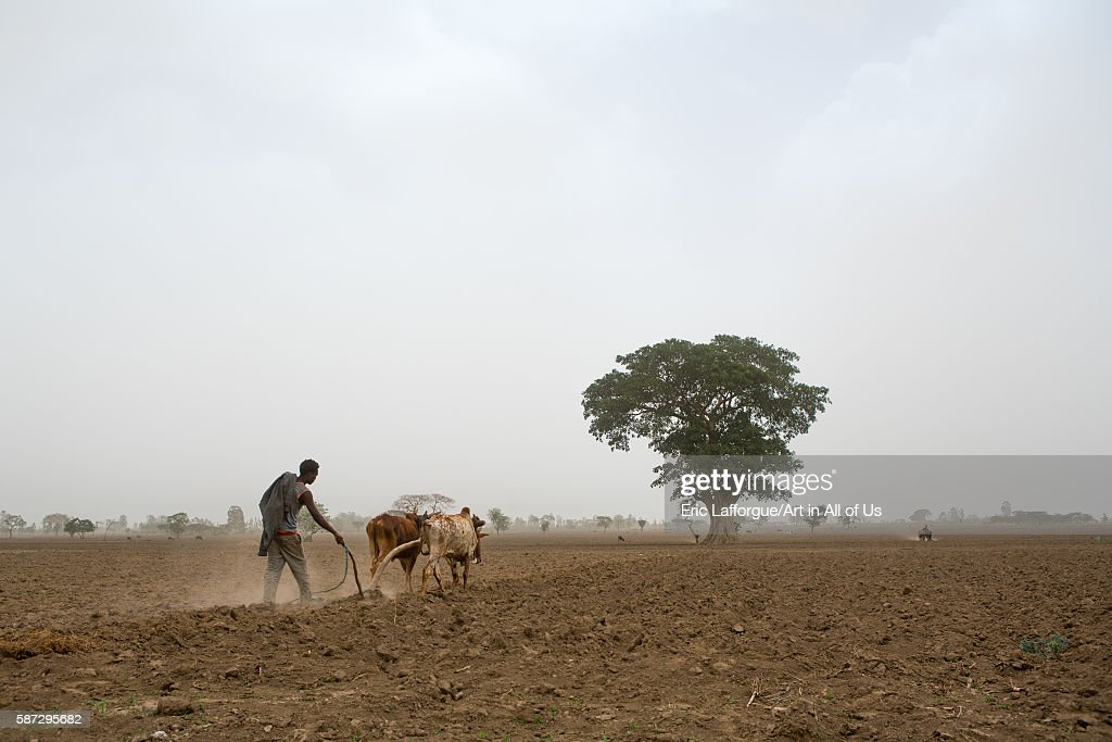 Ethiopian man plowing a field with two oxen kembata alaba kuito Ethiopia on March 22 2016 in Alaba Kuito Ethiopia