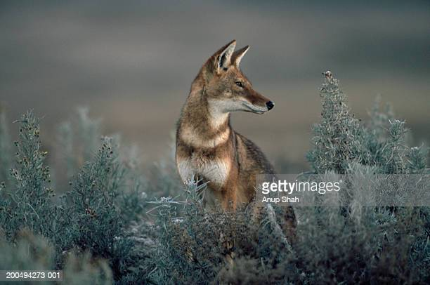 Ethiopian Wolf (Canis Simensis) looking over shoulder