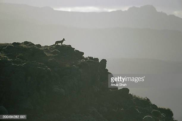 Ethiopian Wolf standing on cliff, silhouette