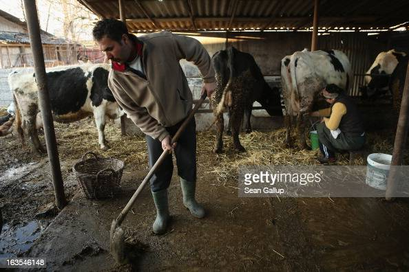 Ethnic Roma Mioara Costea milks one of her cows as her husband Costel shovels manure on their farm on March 11 2013 in Dilga Romania The couple with...