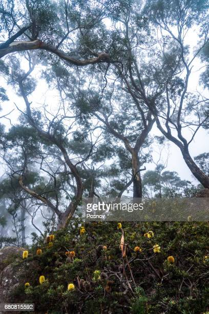 Eucalipt forest at Freycinet National Park, Tasmania