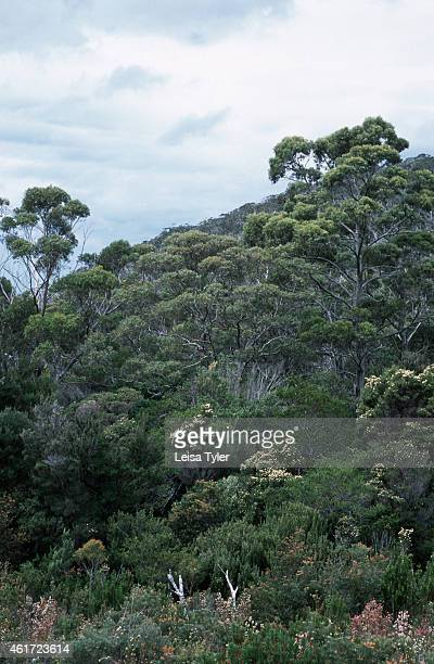 Eucalypts trees native to Australia flower in late spring early summer bringing the bush alive with a mass of subtle colour Tracing the rugged...
