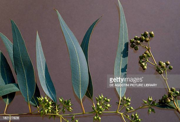 Eucalyptus branch and leaves Myrtaceae