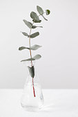 eucalyptus branches in a beautiful vase on white background
