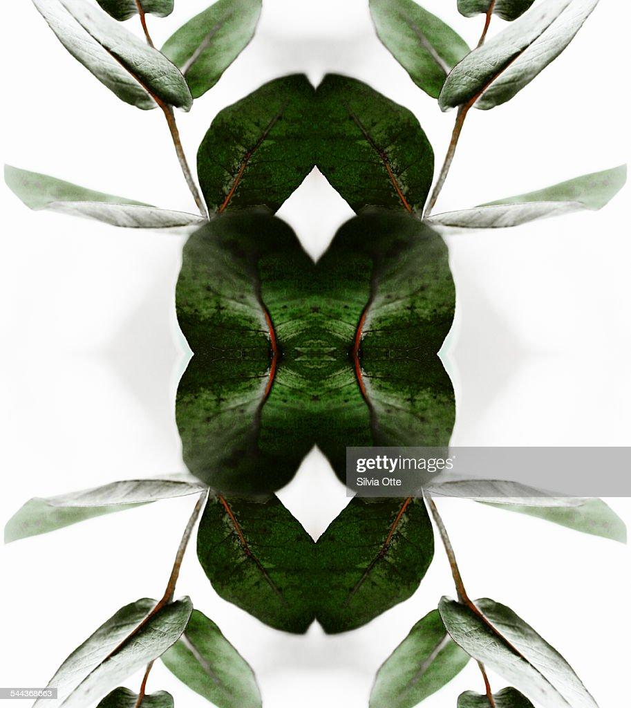 dark green leaves of a eucalyptus branch