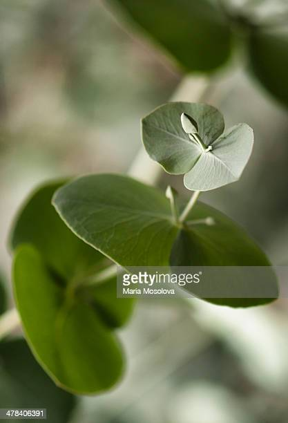 Eucalyptus stem with flower buds and Leaves