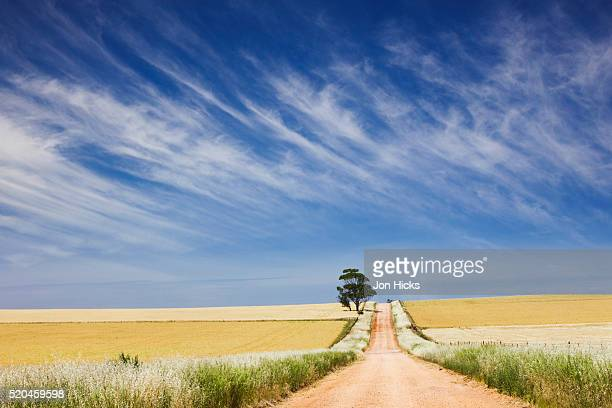 Eucalyptus tree and dirt road running through wheat fields near Adelaide