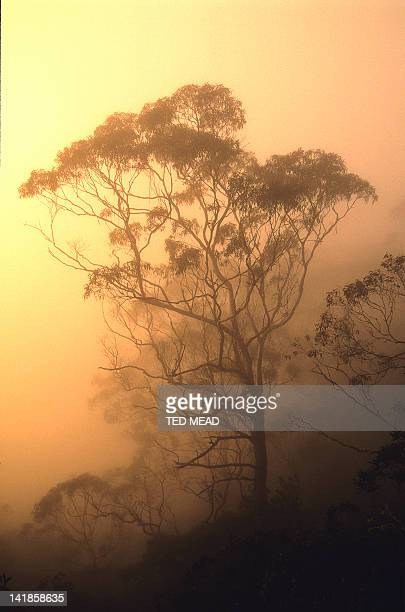 A Eucalyptus tree in mist in the New England Wilderness Area, New South Wales, Australia.