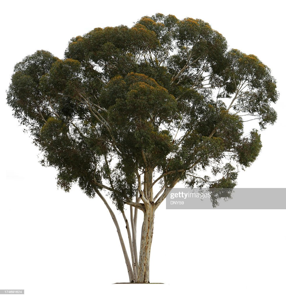 effectiveness of eucalyptus leaves as an Eucalyptus is a tree the dried leaves and oil are used to make medicine though eucalyptus is used medicinally for many purposes, there isn't enough scientific.