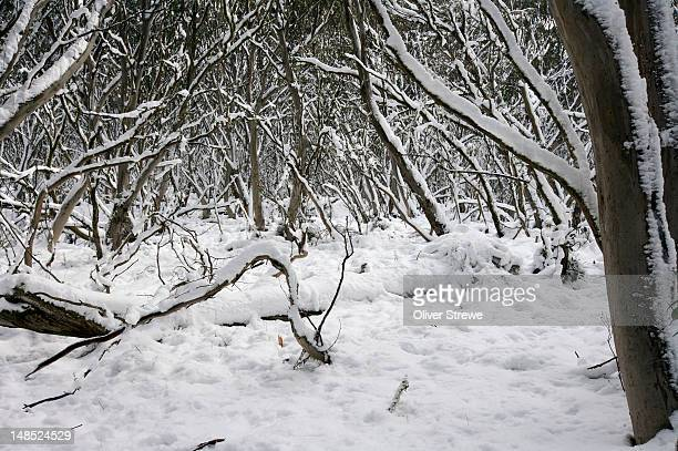 Eucalyptus trees covered in snow.