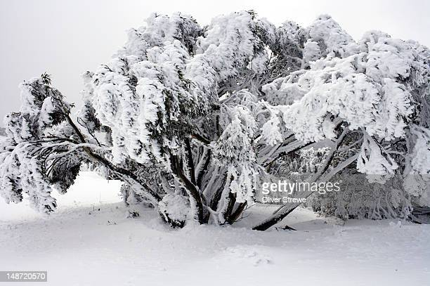 Eucalyptus trees covered in snow seen from Great Alpine road.