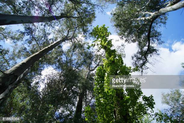 Eucalyptus trees seen from below and blue sky