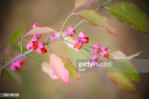 Euonymus Europaeus flower