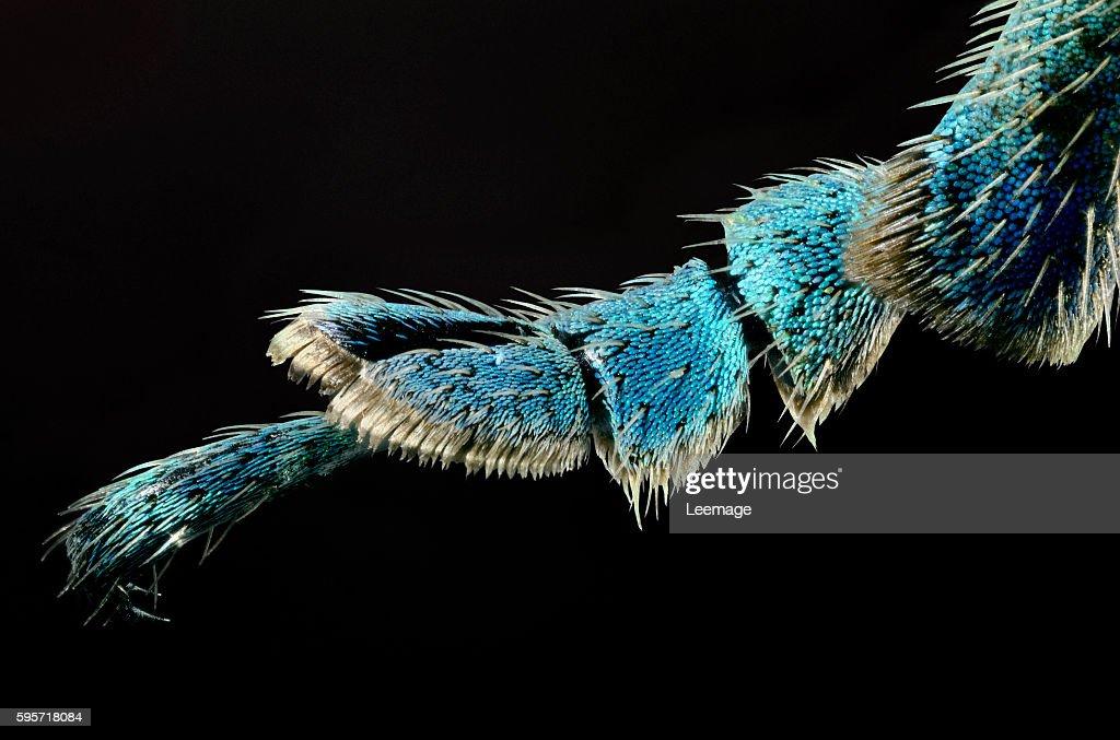 Eupholus bennetti - view of a leg