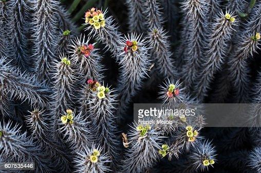 Euphorbia milii ( Madagascar)