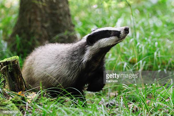 Eurasian badger alone in field