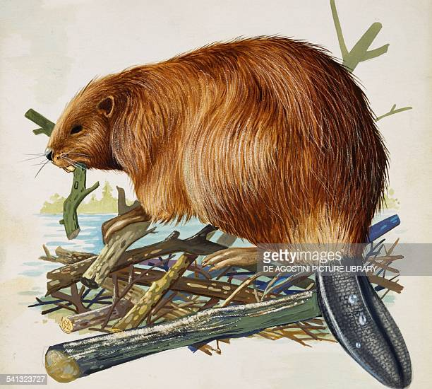 Eurasian beaver or European beaver Castoridae drawing