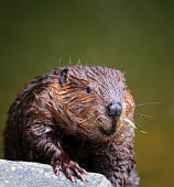 close-up of an eurasian beaver (castor fiber)