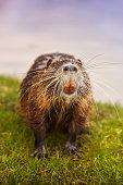 Eurasian beaver on grass looking at camera
