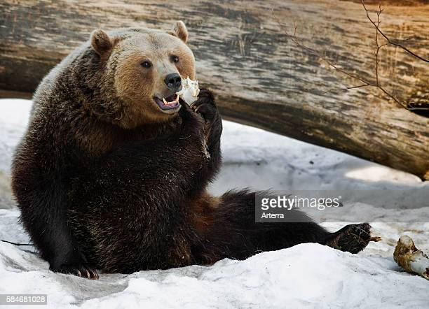 Eurasian brown bear gnawing on bone of carcass in the snow in winter Bavarian Forest Germany