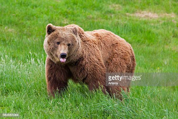 Eurasian brown bear in meadow sticking out tongue