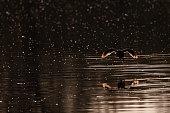 Backlit image of a flying eurasian coot - Fulica atra - during magic hour, along the Dender River. East Flanders, Belgium.