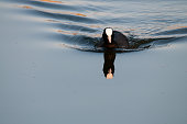 A eurasian coot, swimming in the Dender River, around sunset. East Flanders, Belgium.