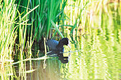 Eurasian coot in sunny river near reed.