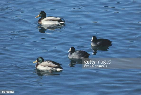 Eurasian Coots swimming on water