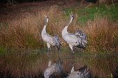 Eurasian Crane Grus grus adult pair calling