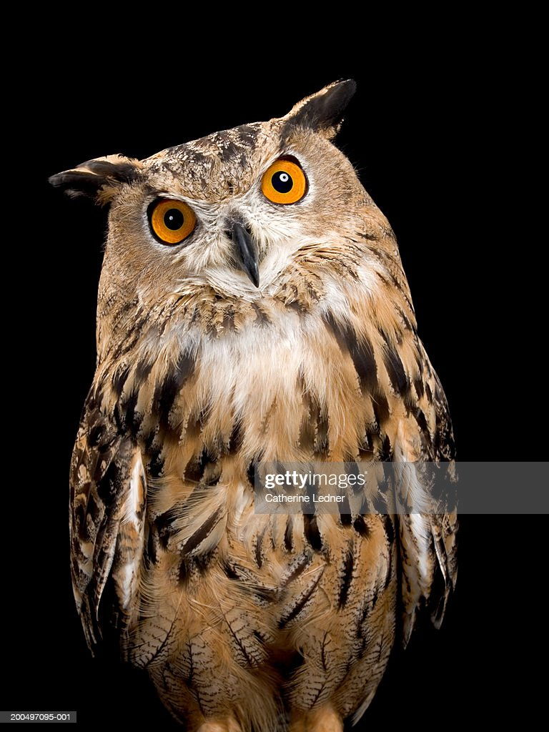 Eurasian Eagle Owl (Bubo bubo) : Stock Photo