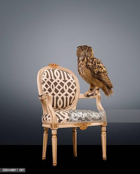 Eurasian Eagle Owl (Bubo bubo) standing on chair arm