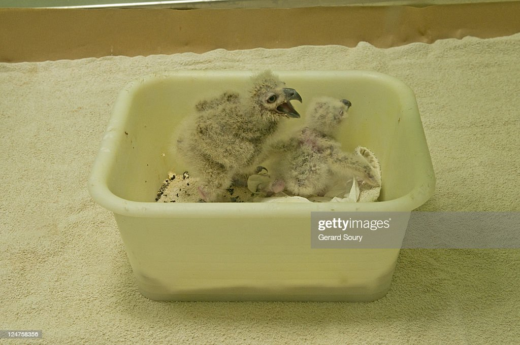 Eurasian Eagle-owl (Bubo bubo), baby birds in incubator, Le Parc aux Oiseaux, La Dombes, France : Stock Photo