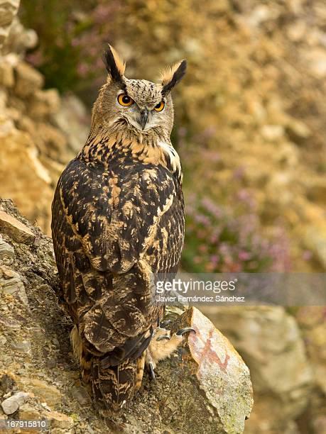Eurasian Eagle-Owl - Búho real