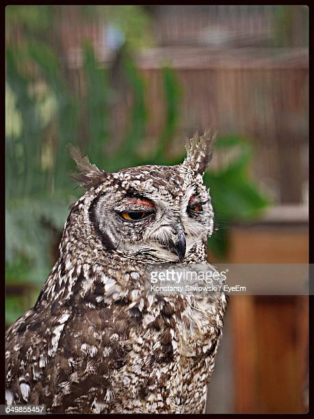 Eurasian Eagle-Owl Outdoors