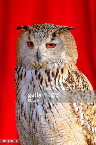 Eurasian Eagle-Owl : Stock Photo