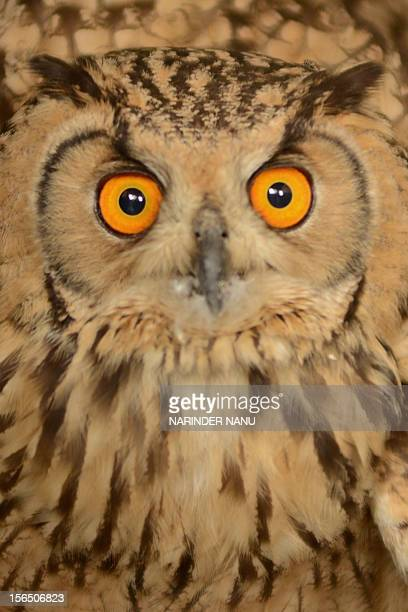A Eurasian EagleOwl reacts after being fed at The Society for the Prevention of Cruelty to Animals in Amritsar on November 16 2012 The owl which is...