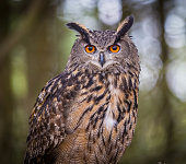 Eurasian Eagles Owl