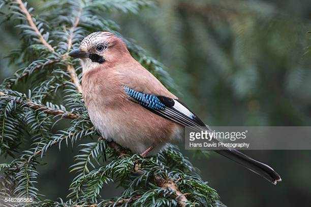 Eurasian Jay (Garrulus glandarius) on branch