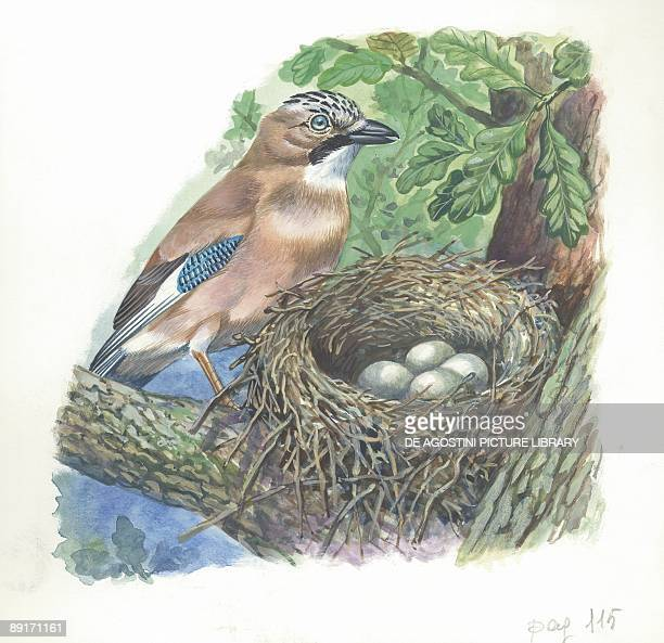 Eurasian Jay on nest with eggs illustration