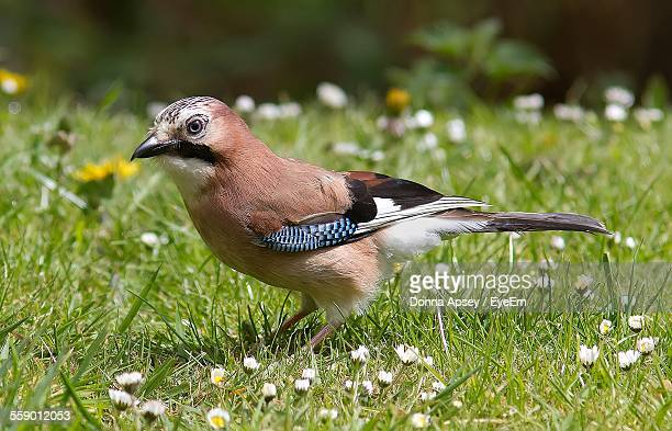 Eurasian Jay Standing On Grass