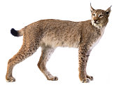 Eurasian Lynx on white background