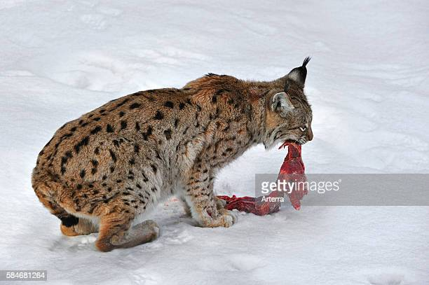 Eurasian lynx tearing up meat to eat in the snow in winter Bavarian Forest National Park Germany