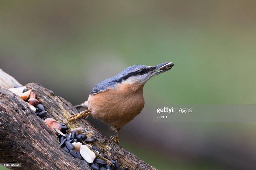 Eurasian nuthatch : Stockfoto