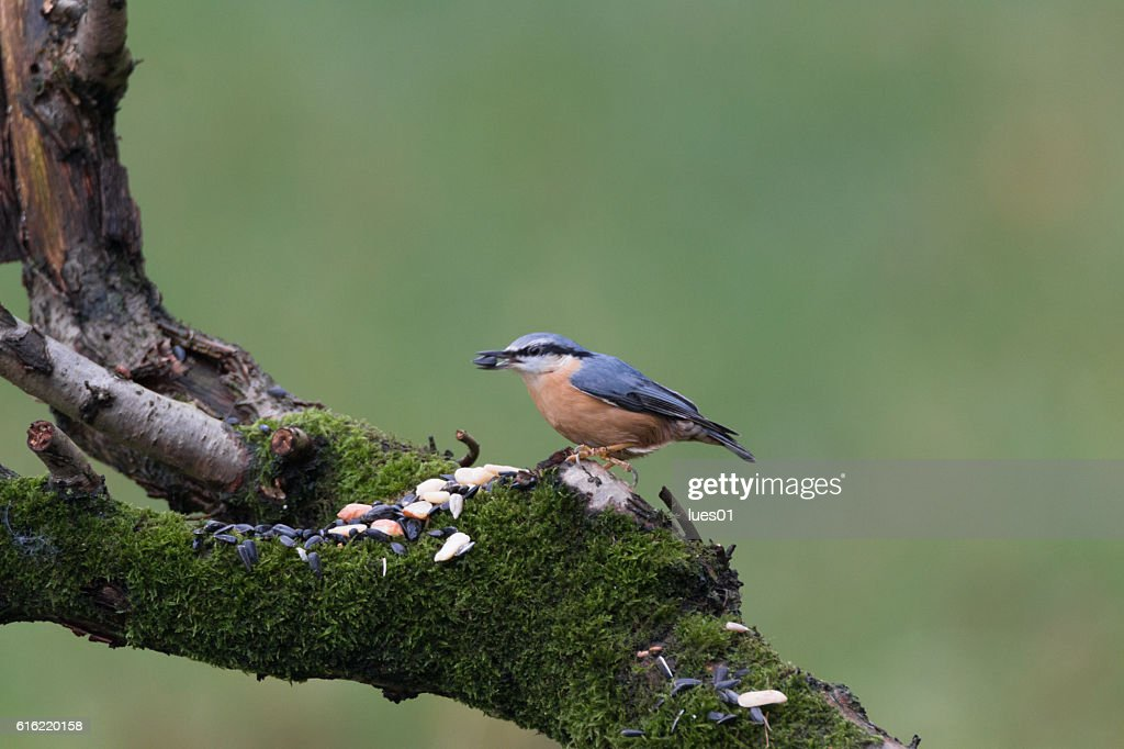 Eurasian nuthatch : Stock Photo