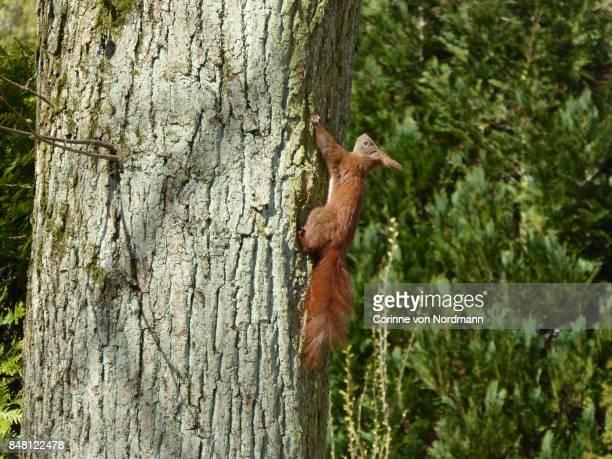 Eurasian Red Squirrel Climbing Up Tree - Sciurus vulgaris