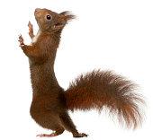 Eurasian red squirrel auf weißem Hintergrund